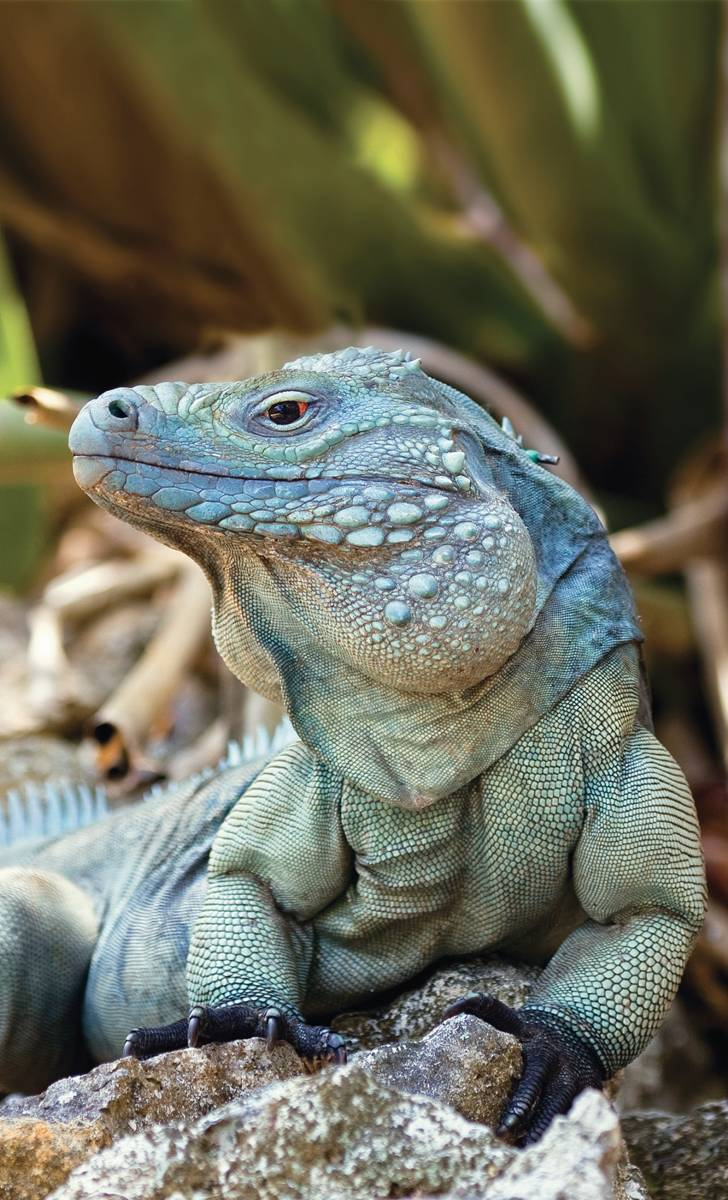blue iguana cayman islands